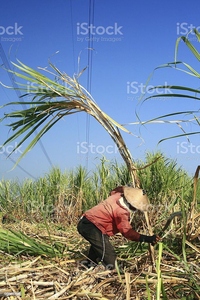 Harvesting sugarcane stock photo