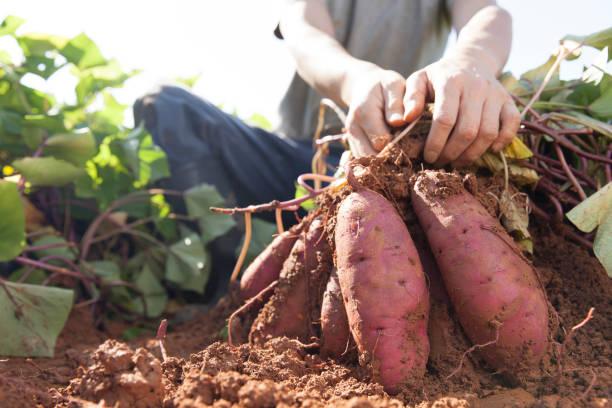 zbieranie słodkich ziemniaków - słodki ziemniak zdjęcia i obrazy z banku zdjęć