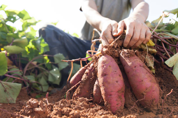 harvesting sweet potatoes man harvesting sweet potatoes sweet potato stock pictures, royalty-free photos & images