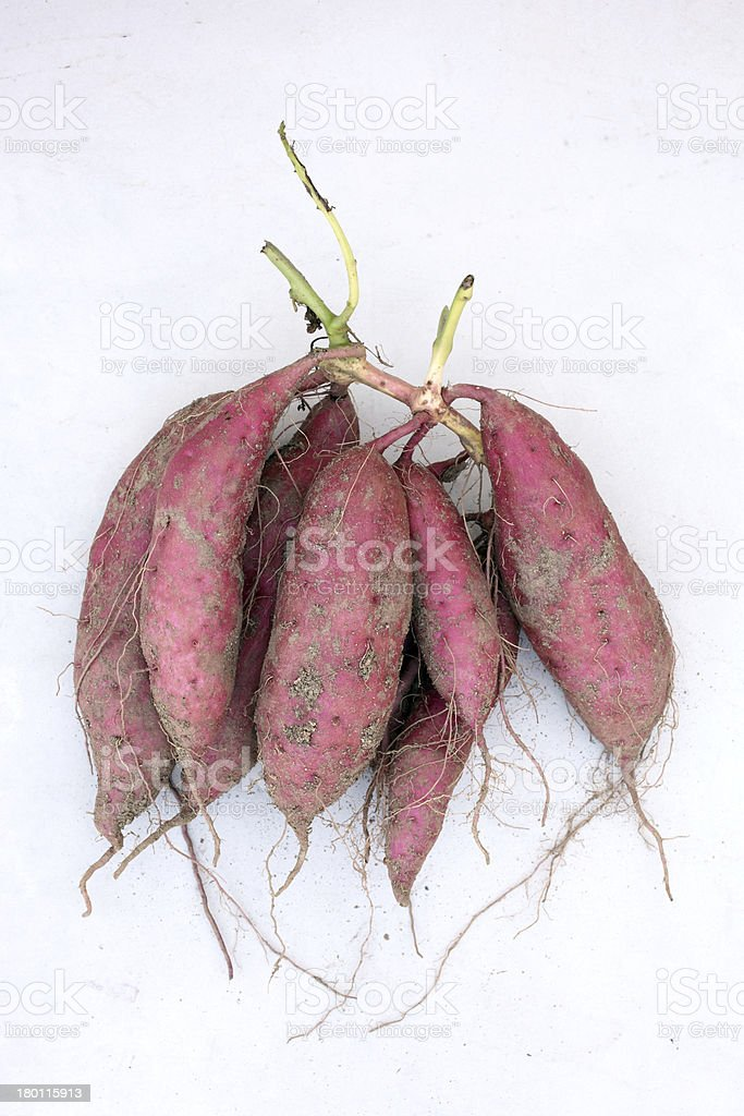 harvesting sweet potatoes royalty-free stock photo