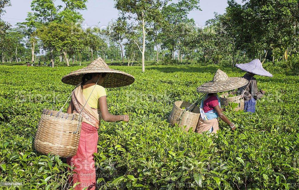 Harvesting tea leaves, Jorhat, Assam, India, stock photo