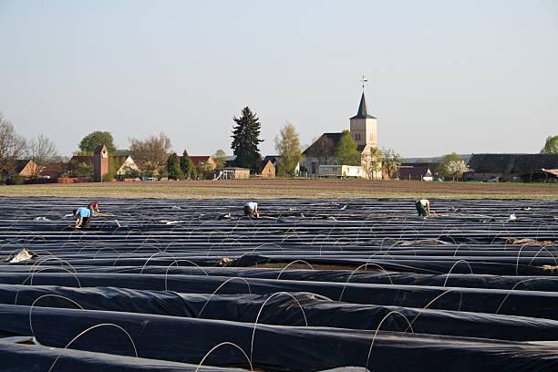 수확 이 아스파라거스 - 브란덴부르크 주 뉴스 사진 이미지