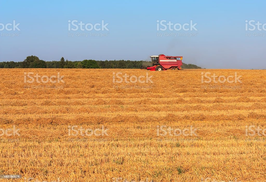 Harvesting wheat in August stock photo