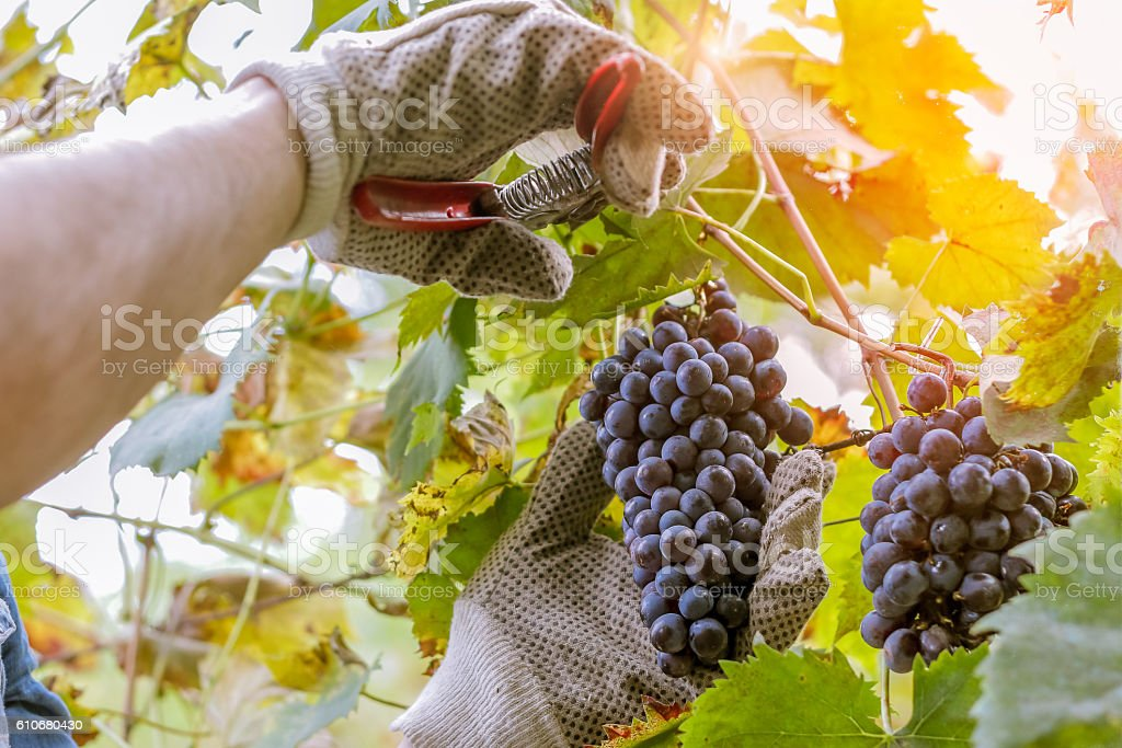 harvesting wine - farmer picking grapes stock photo