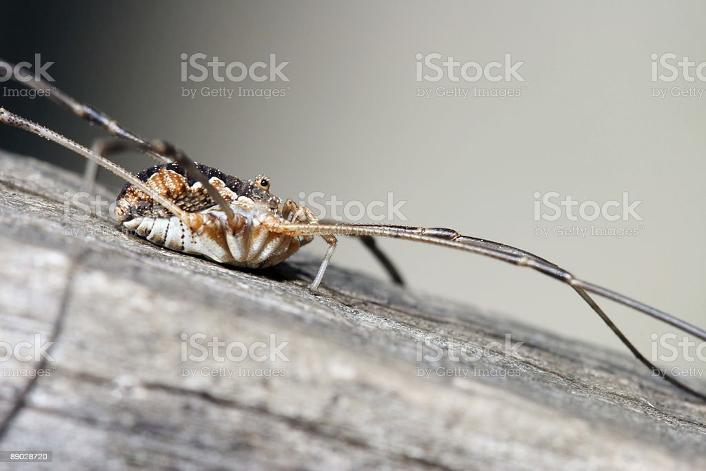 Harvestman 6 royalty-free stock photo