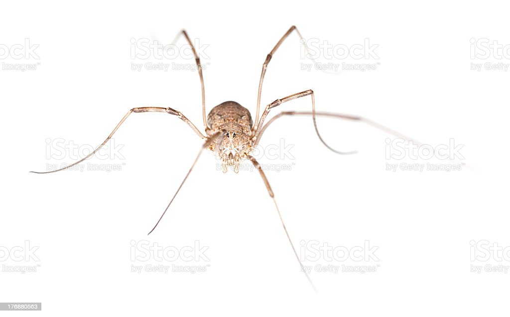 Harvestman isolated on white background, macro photo stock photo