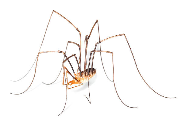 Harvestman or daddy long legs isolated on white background stock photo
