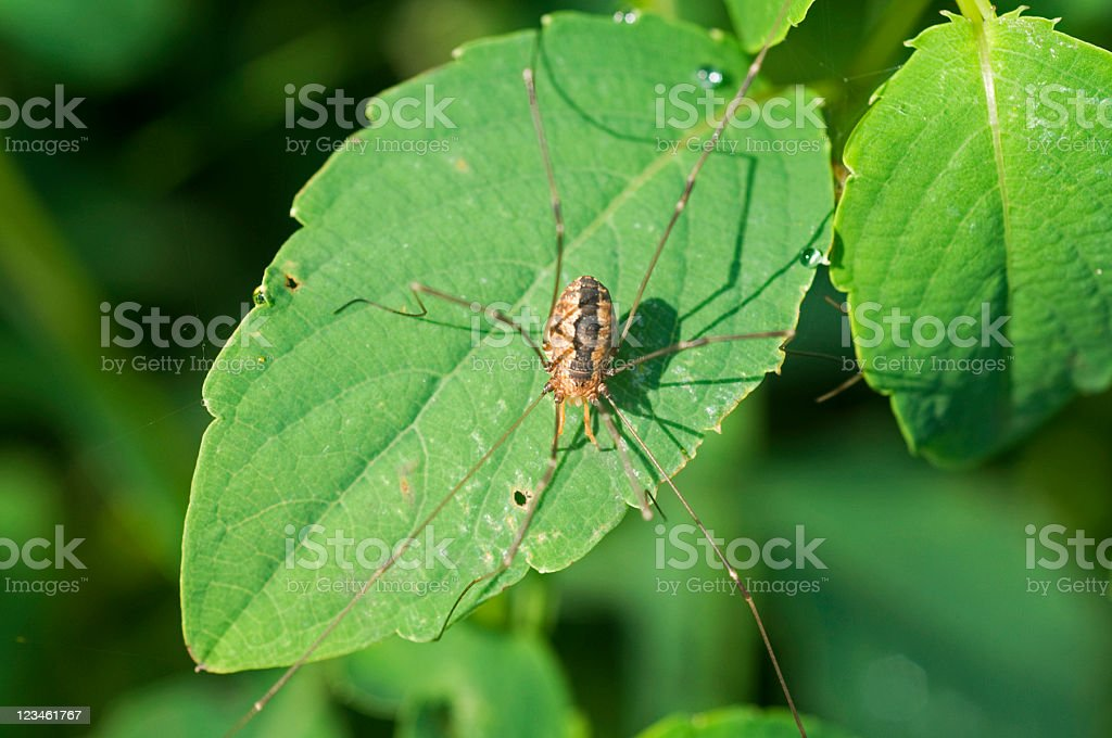 harvestman or daddy-long-legs, Leiobunum species stock photo