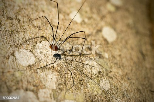 Harvestman or Daddy Longlegs, a spider of the order Opiliones