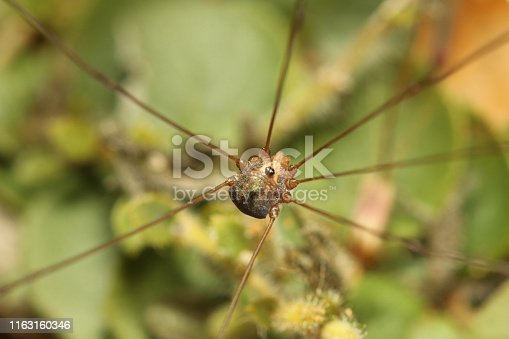 Harvestmen, Bangalore, Karnataka. Also known as daddy longlegs.