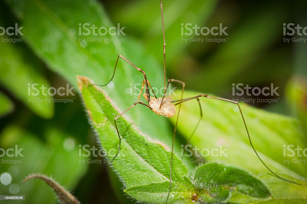 Harvestmen or Daddy Long legs Spider on A Leaf stock photo