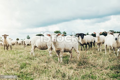 Shot of a herd of sheep grazing peacefully on a green  field outside at a farm during the day