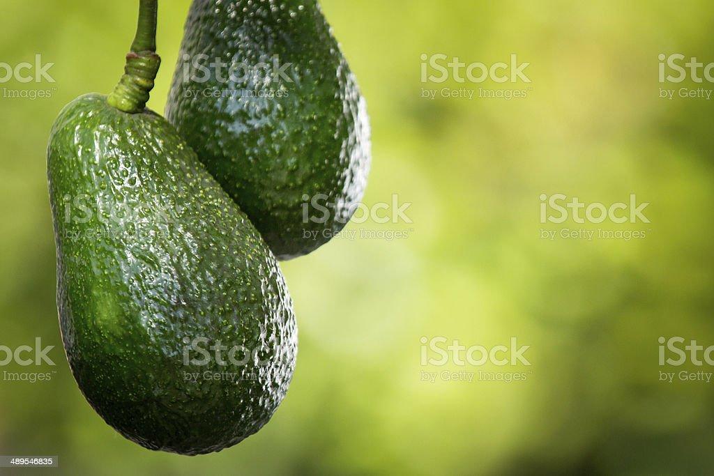 Abacate Hass na árvore - foto de acervo