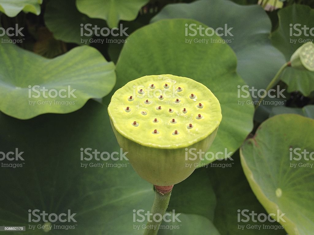 Hasu A Lotus Flower Root Stock Photo More Pictures Of Buddhism