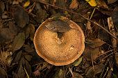 Hat of Single Milk-cap Mushroom covered With Dead Leaves