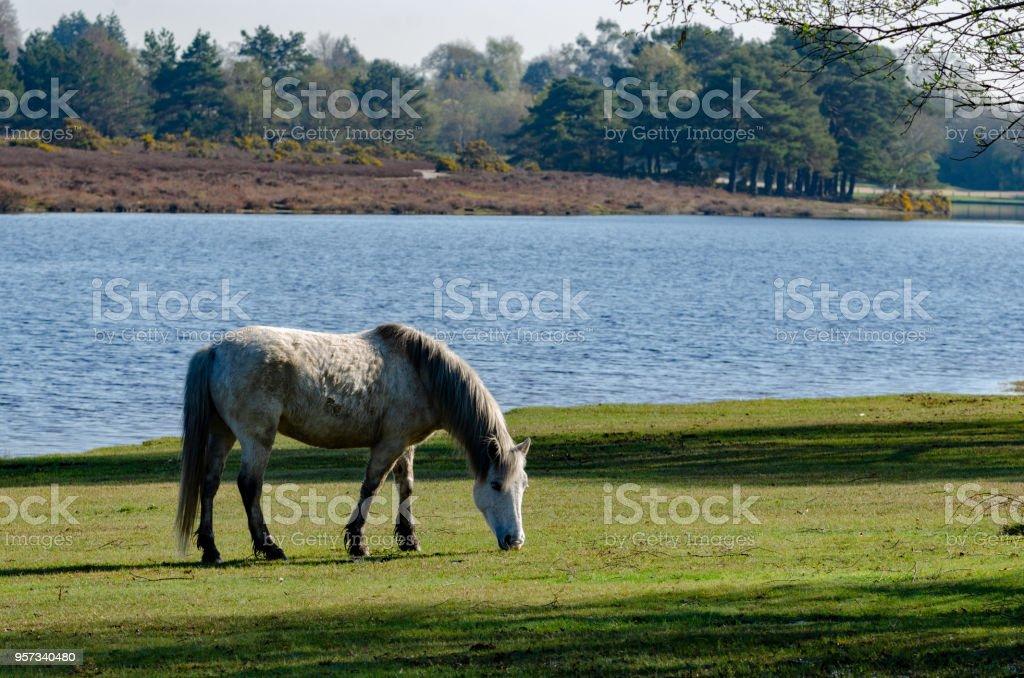 Hatchet Pond White Pony stock photo