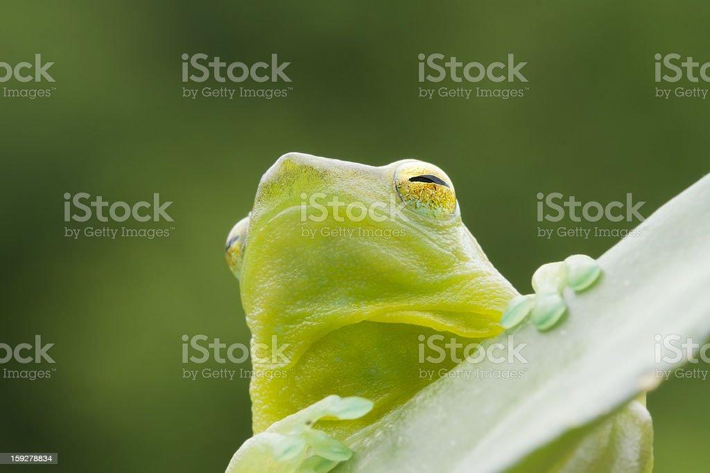 Hatchet-faced Tree Frog royalty-free stock photo