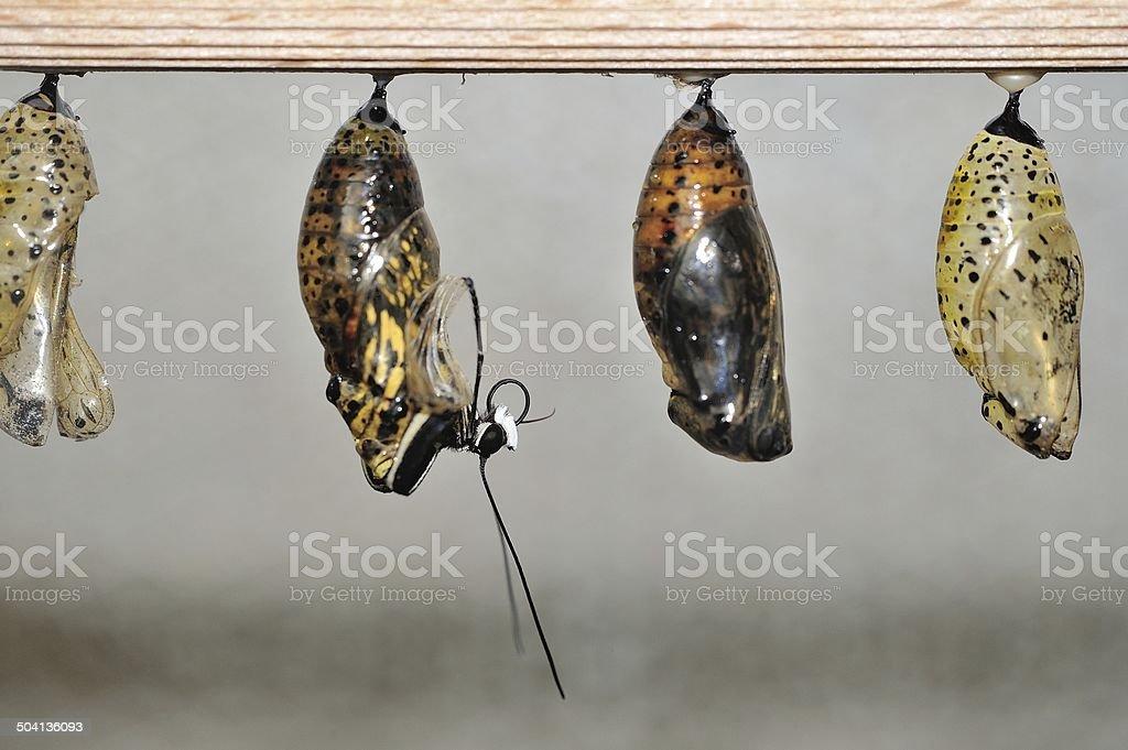Schlüpfen Schmetterling aus cocon – Foto