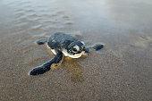孵化アオウミガメ(ウミガメ)クロールビーチに向かいます。