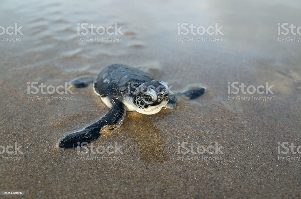 Hatching green turtle (sea turtle) crawls across beach. stock photo