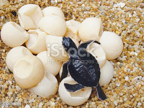 Young sea turtle scurrying across the unhitching eggs