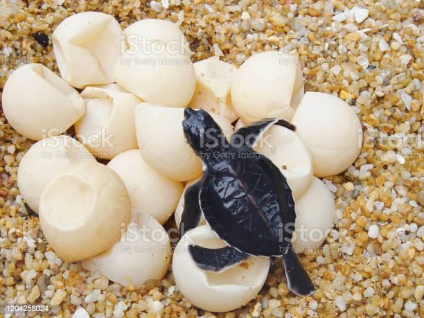 Hatching of sea turtle eggs picture id1204258024?b=1&k=6&m=1204258024&s=612x612&h=axjg7lmktw7aqhqeyhptcwaue8h8h elwq lgxqm bu=