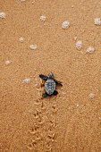 Cute hatchling (baby) loggerhead sea turtle (of the caretta caretta specie) crawling to the sea, after leaving the nest at the beach on Bahia coast, Brazil, with footprints on the sand.