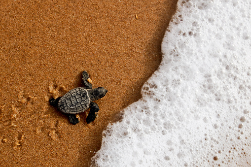 Hatchling baby sea turtle crawling to the ocean on Bahia coast, Brazil