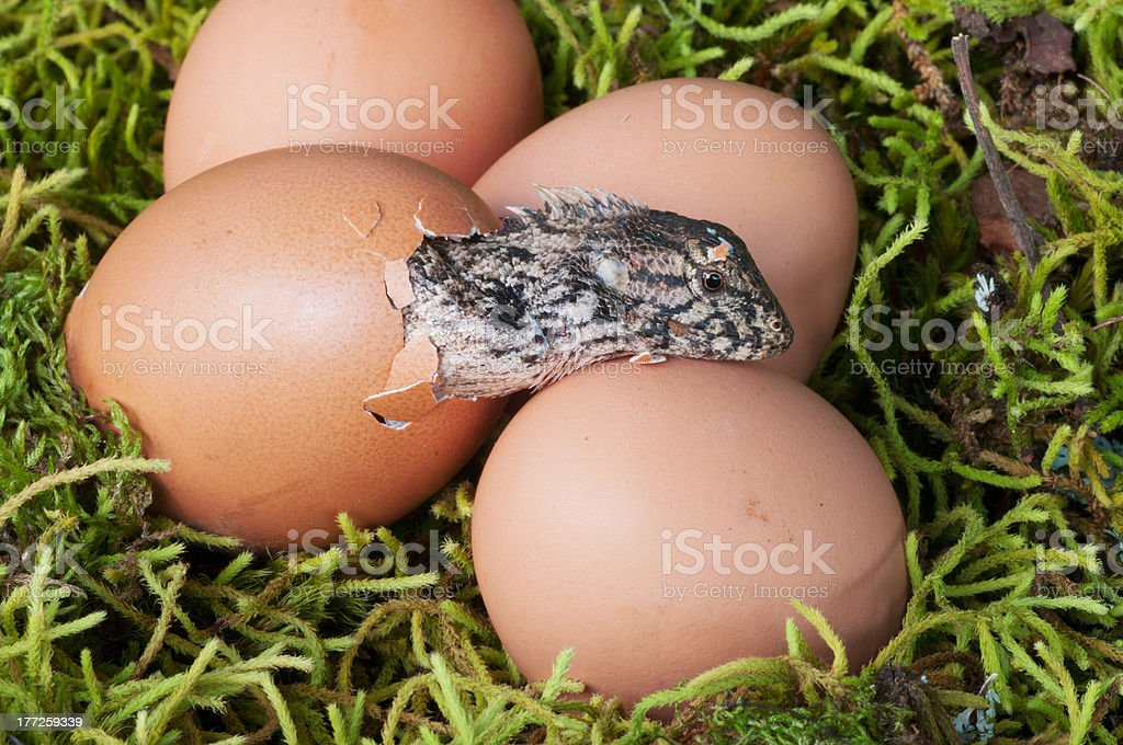 Hatchling royalty-free stock photo