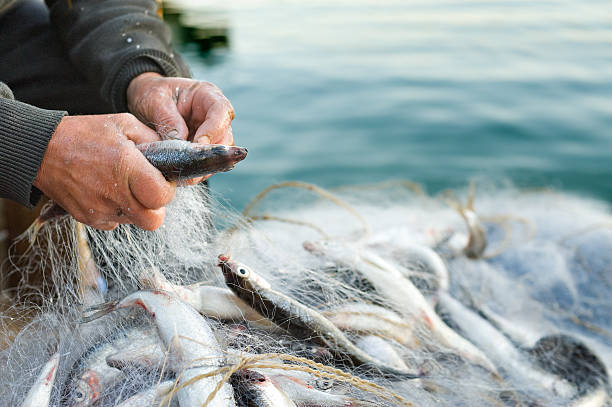 haul hands take fish out of a net fisherman stock pictures, royalty-free photos & images