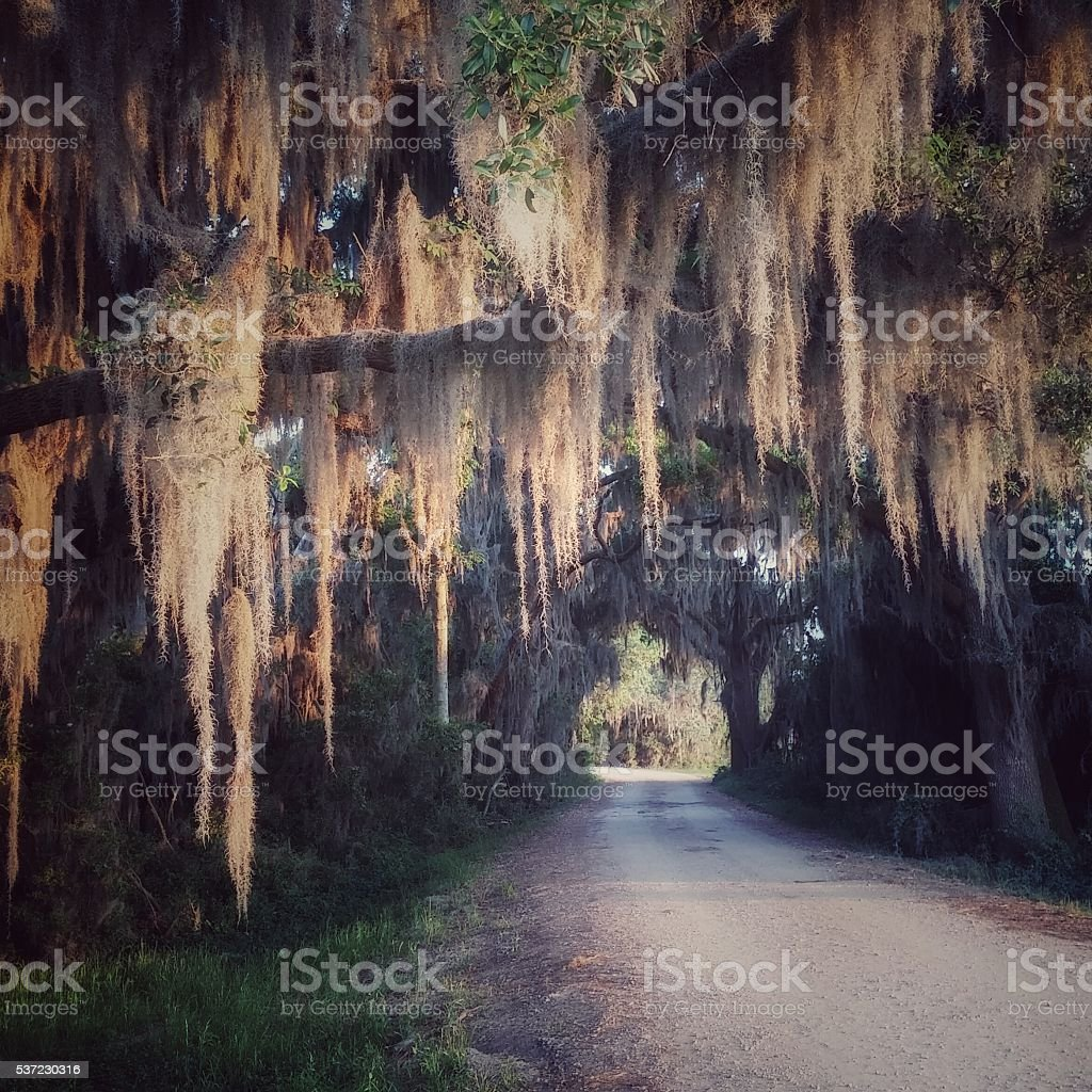 Haunted Spanish Moss Hanging from Live Oak Tree, Overhanging Road stock photo