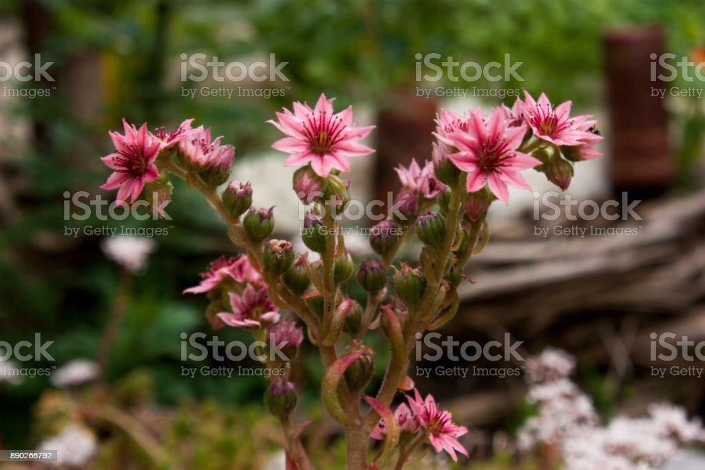 Hauswurz Blüte stock photo