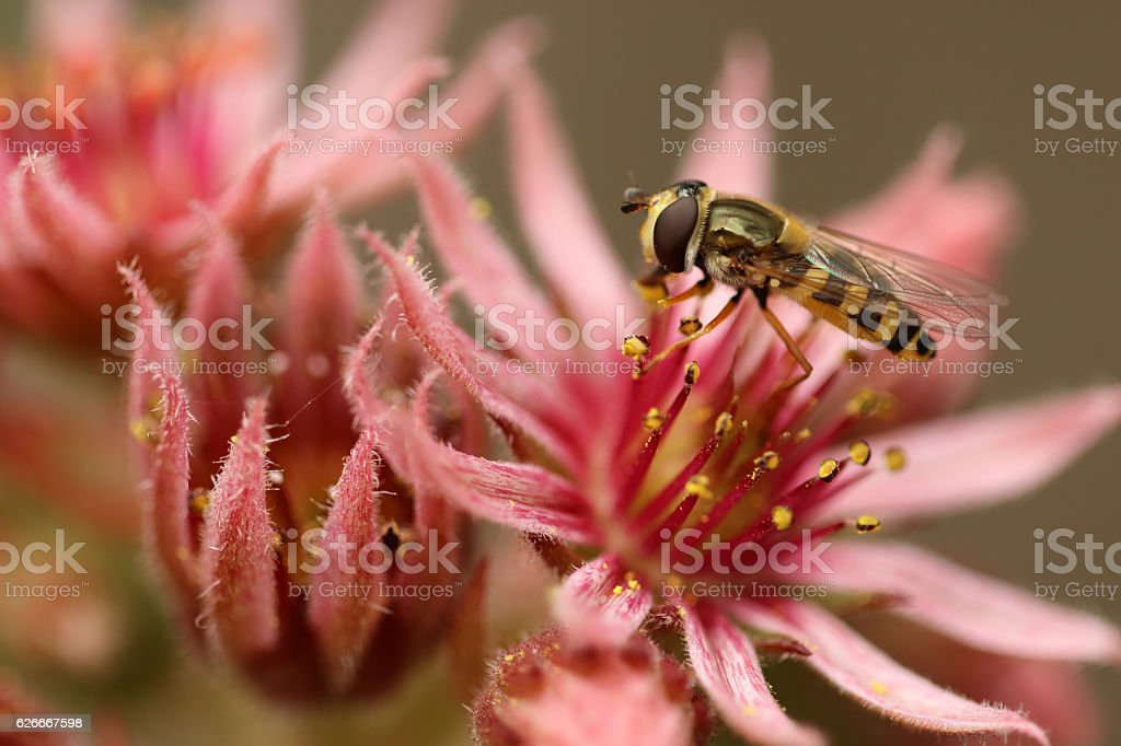 Hauswurzblüte mit Schwebfliege stock photo
