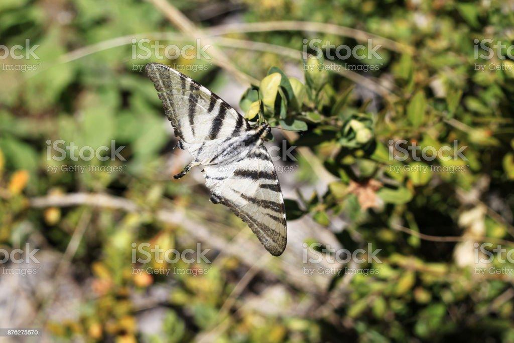Papillon tigre Hautes Alpes - Photo