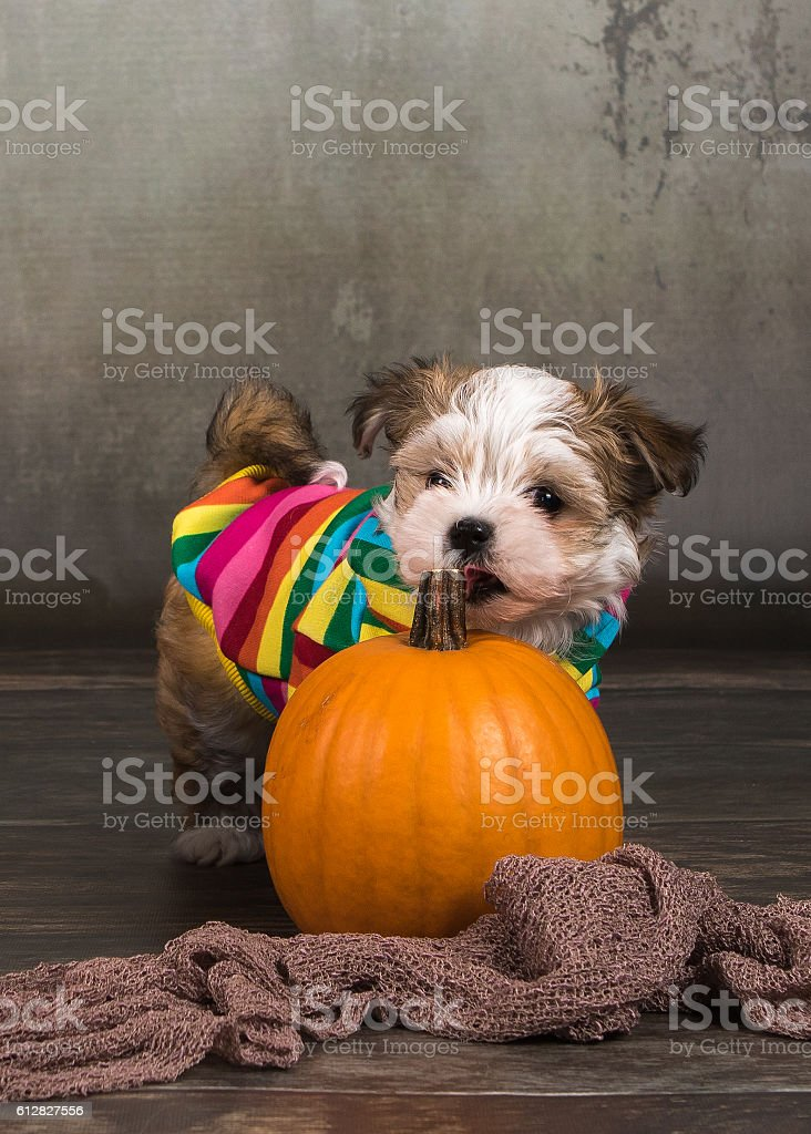 havanese dog puppy with pumpkins halloween stock photo