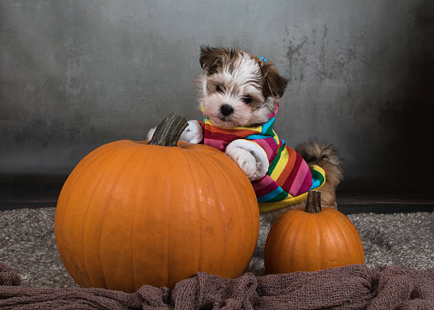 havanese dog puppy with pumpkins halloween - havaneser in not stock-fotos und bilder