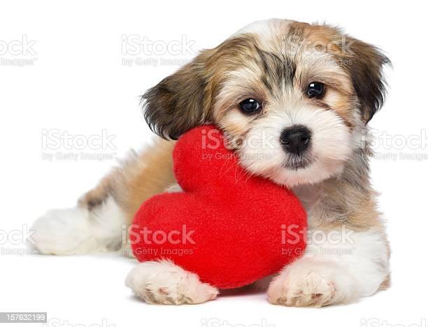 Havanese puppy clutching a red heartshaped plush toy picture id157632199?b=1&k=6&m=157632199&s=612x612&h=rjd2nwjb84e2caolv0mcp0s3ijw0upjwoah4xsboies=