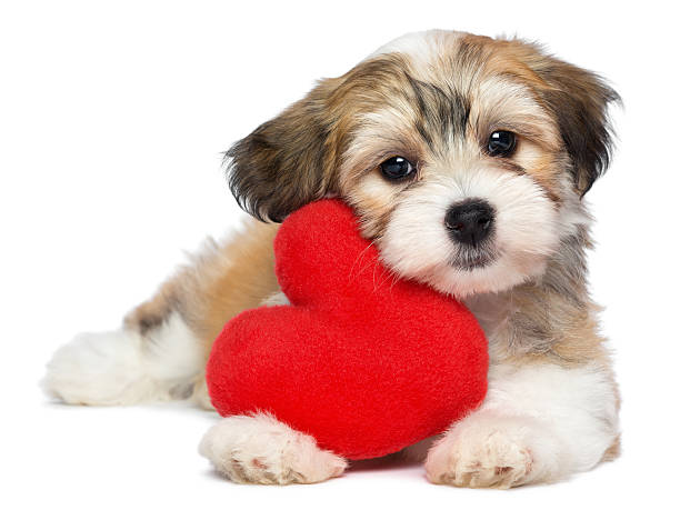 Havanese puppy clutching a red heart-shaped plush toy A cute lover valentine havanese puppy dog with a red heart isolated on white background animal valentine stock pictures, royalty-free photos & images