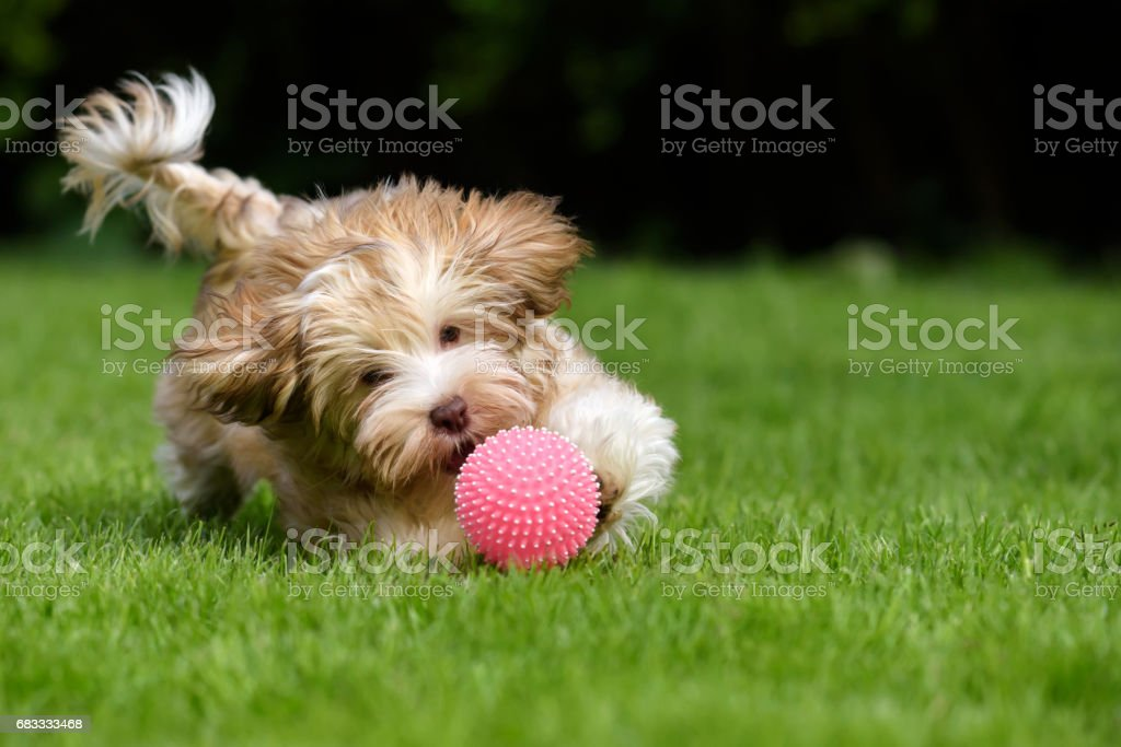 Havanese puppy dog chasing a pink ball stock photo