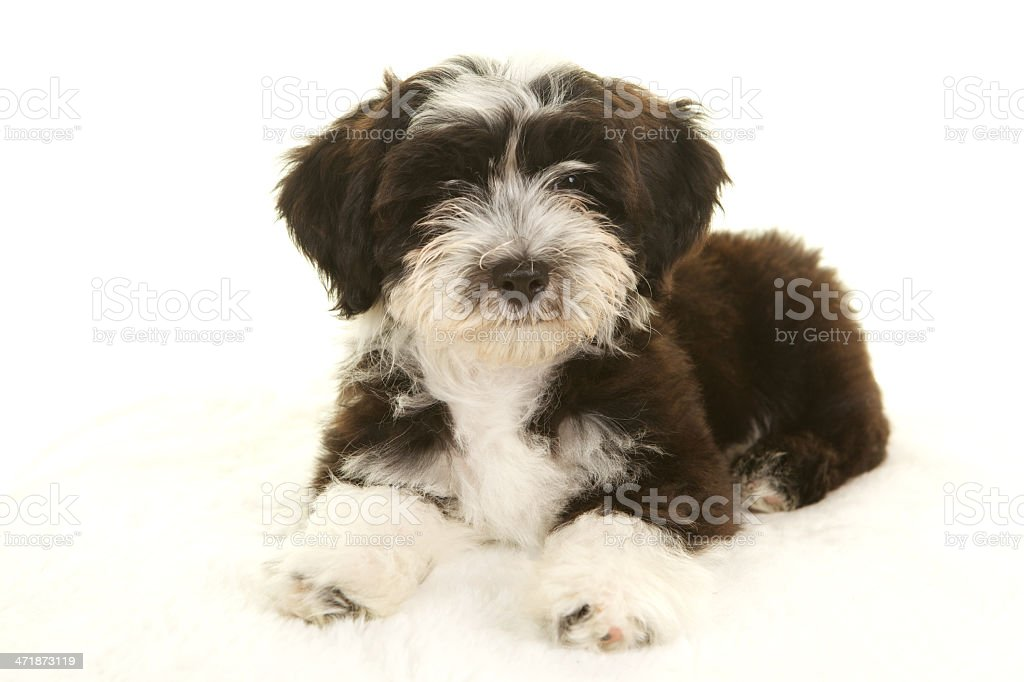 Havanese Puppy On White Background Stock Photo Download Image Now Istock