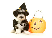 Adorable Havanese puppy wearing a witch hat and cape.  She is sitting on a white fur blanket on a white background with a plastic Jack O Lantern.