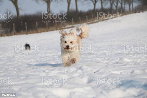 Havaneser rennt im schnee picture id922890320?b=1&k=6&m=922890320&s=612x612&h=eyhfmb4saamos9w4kojsuuzktpgifo99 euiffer4 m=
