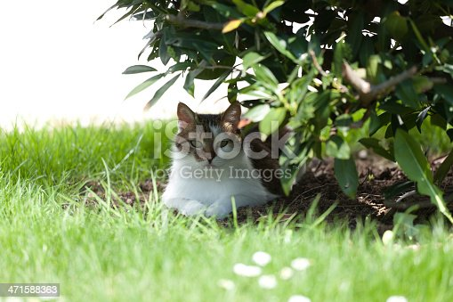 cat lying under cherry laurel bush
