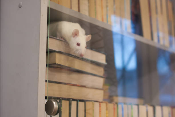 have concept. white rat in the bookcase. symbol of the stock photo