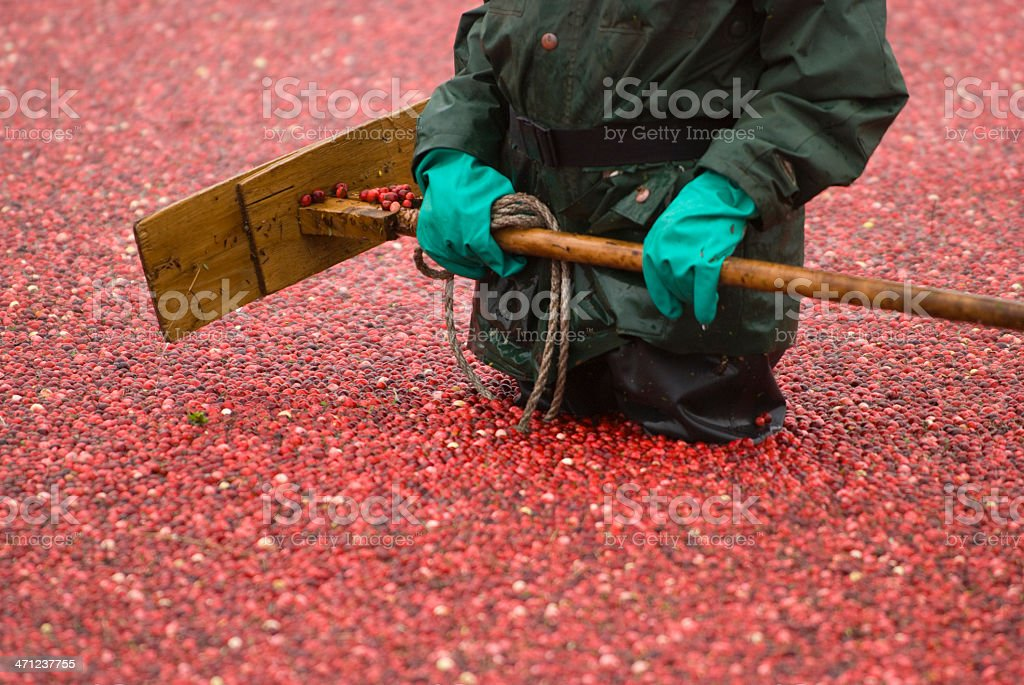 Havesting Cranberries stock photo