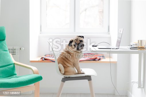 Working at the own Scandinavian-style apartment by laptop with a small fluffy cute pug