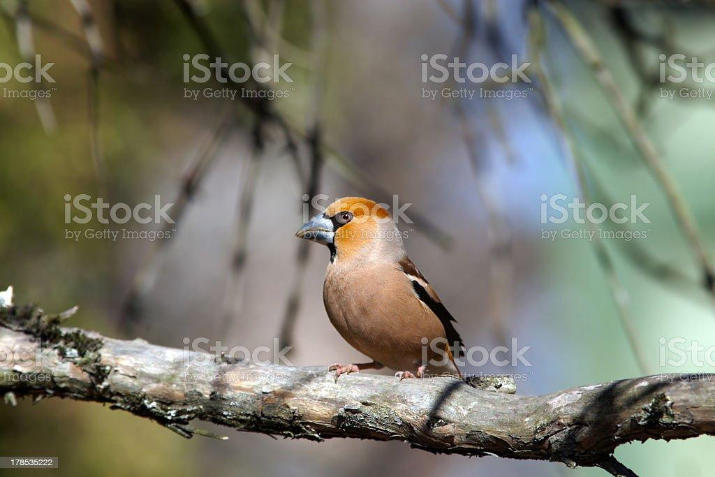 Haw finch (grosbeak) royalty-free stock photo