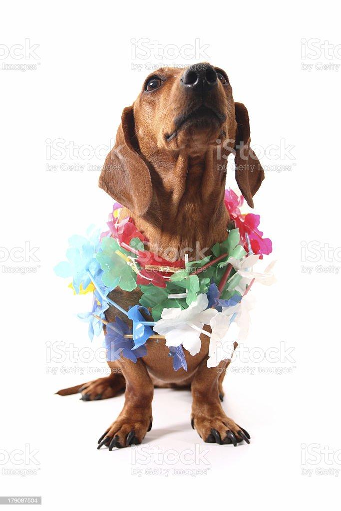 Hawaii aloha dachshund royalty-free stock photo