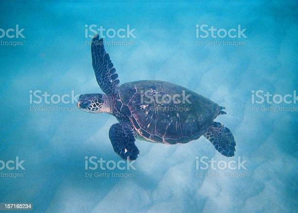 Hawaii underwater turtle picture id157165234?b=1&k=6&m=157165234&s=612x612&h=mxpqlh8obsps25oypb1ui zzsirklscbwofpnz liqo=