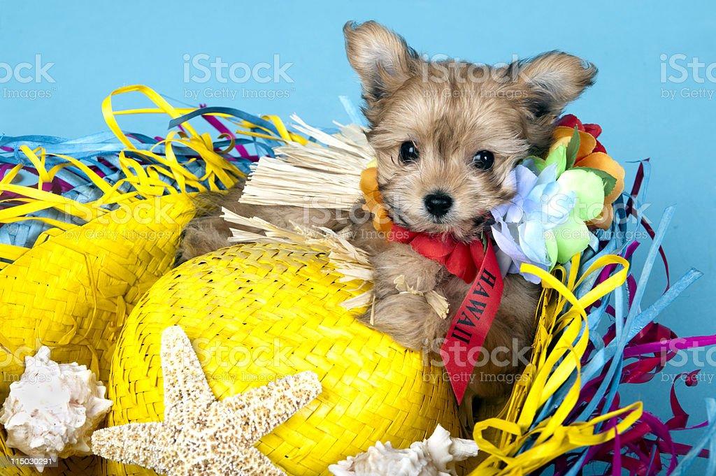 Hawaii Vacation puppy stock photo